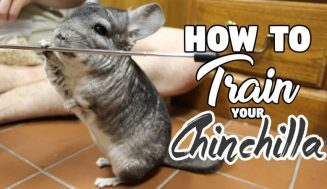How To Potty Train A Chinchilla