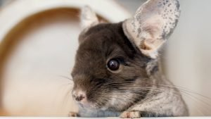 Start training when the chinchilla is young