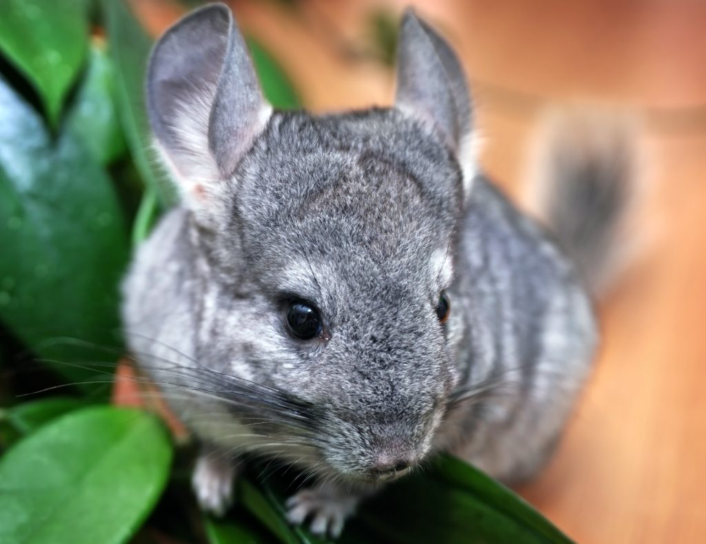 Would I make a good chinchilla rescuer-rehabber