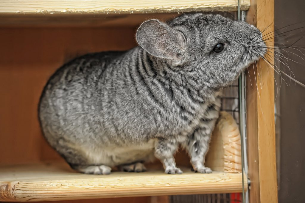 Your chinchilla might start sneezing, coughing, it could develop a fever, lethargy and loss of appetite.