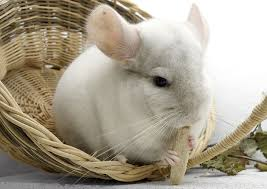 safe vegetables for chinchillas
