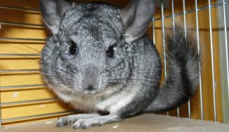 Do Chinchillas Bite? What To Do When That Happens?
