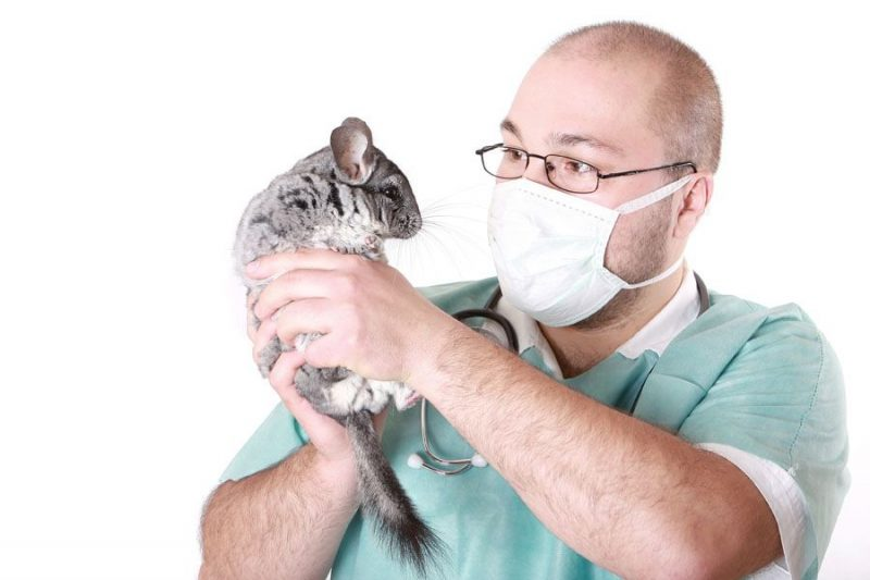Taking an ill chinchilla to the vet