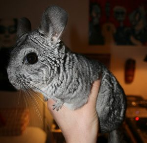 What To Do When Your Chinchilla Bites