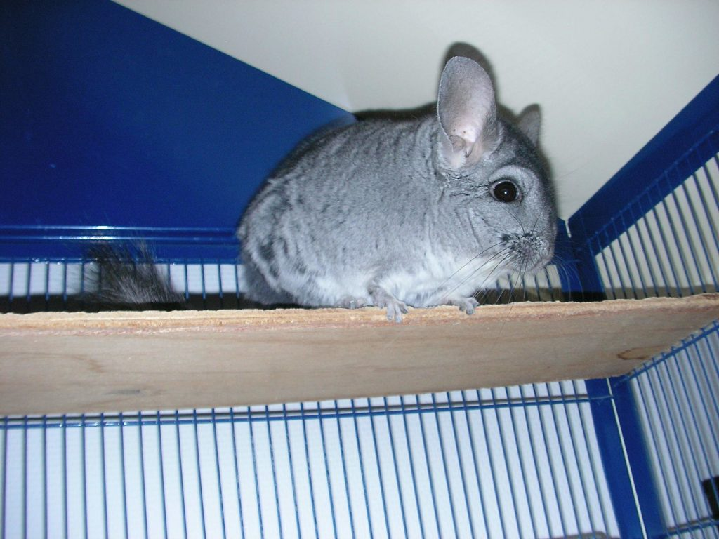 Why doesnt my chinchilla want to go back in their cage