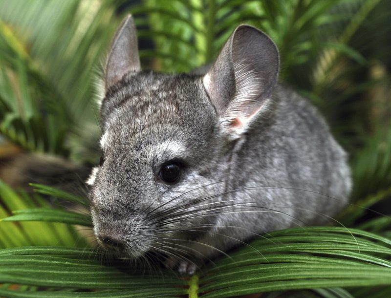Can chinchillas be trained?